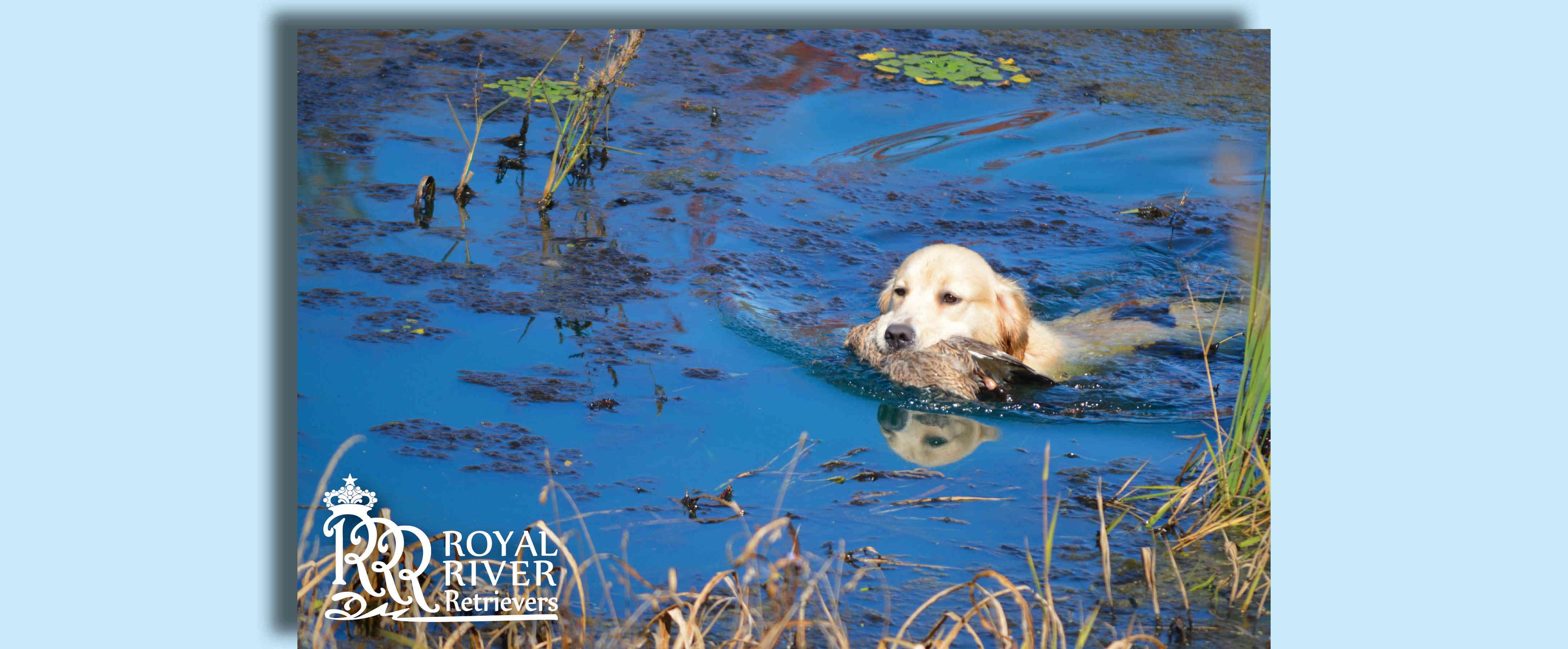 Royal River Retrievers – Golden Retriever Puppies in Maine